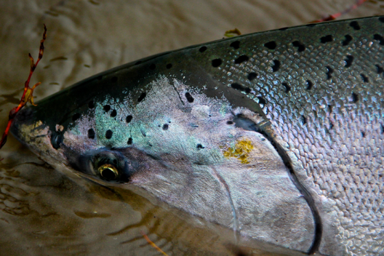 Oregon waters provide some of the world's most beautiful salmon | Holloway bros