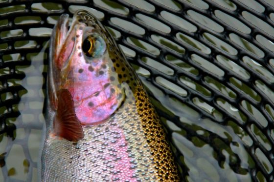 McKenzie River provides multiple areas of beautiful Trout | Holloway Bros